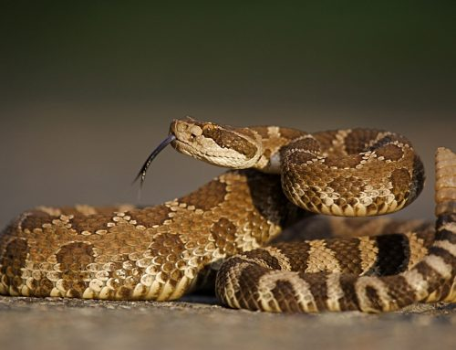 Snakes and Pets—Not a Good Mix