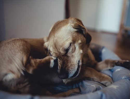 The Incessant Itch—Identifying Pet Allergies